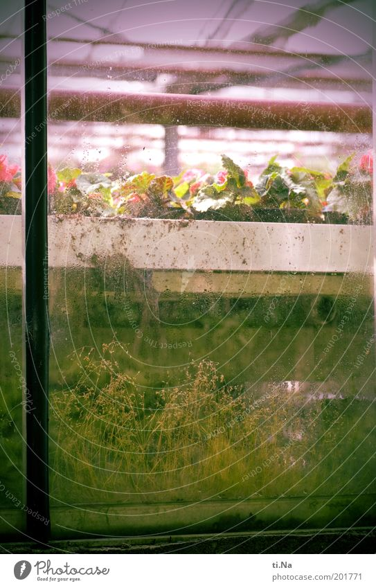 Old Green Plant Window Building Pink Glass Dirty Growth Blossoming Section of image Pane Greenhouse Market garden