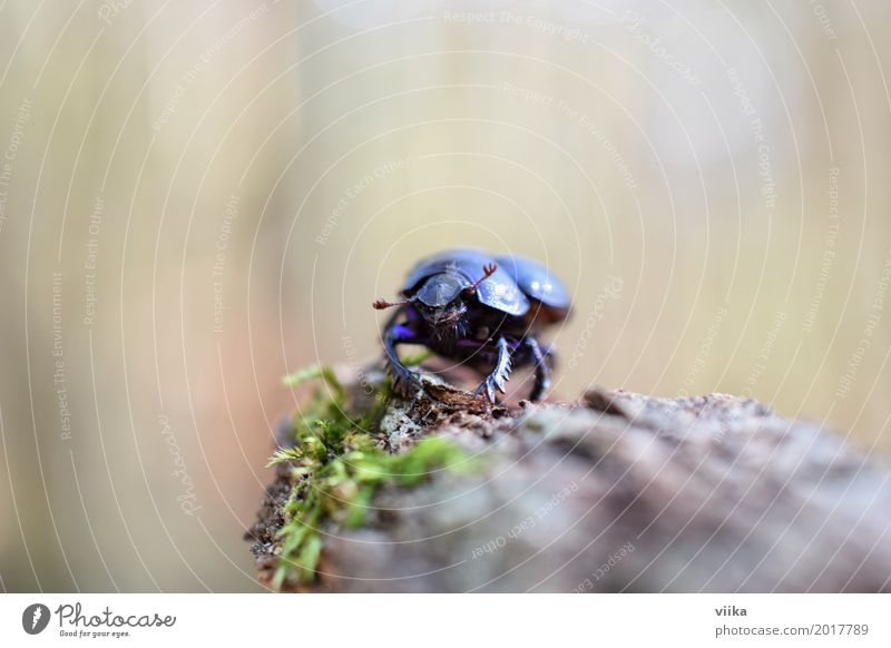 dung beetle Nature Animal Spring Tree Beetle Animal face 1 Wood Observe Crawl Stand Small Blue Brown Green Black Colour photo Exterior shot Close-up
