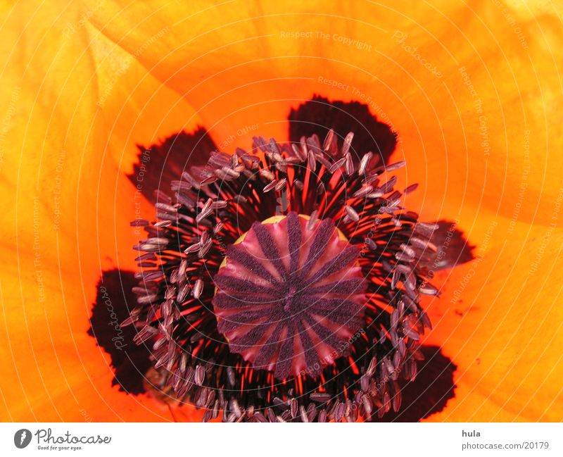 Flower Blossom Poppy Poppy blossom