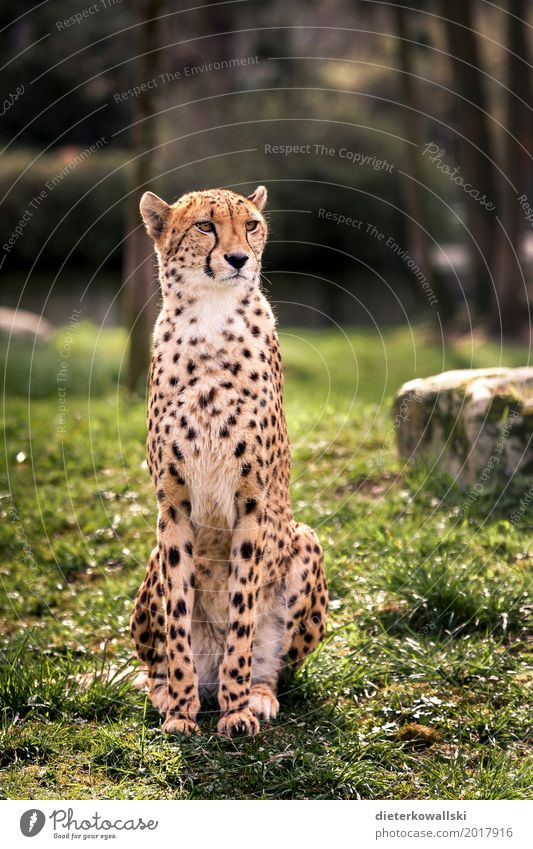 cheetah Wild animal Cheetah 1 Animal Elegant Speed Beautiful Strong Majestic Spotted Cat big cat Watchfulness Zoo Enclosure Captured Colour photo Multicoloured