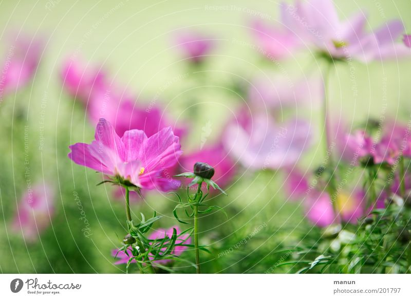 Cosmea Elegant Fragrance Garden Nature Plant Spring Summer Flower Blossom Cosmos Flowerbed Esthetic Fresh Bright Beautiful Pink Spring fever Romance Light green
