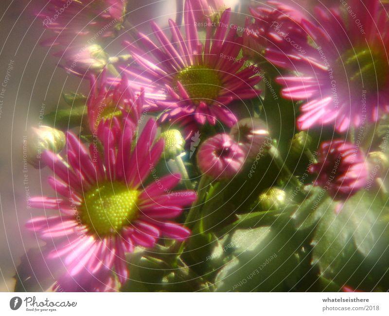 flowers Flower Pink Fisheye Nature blur