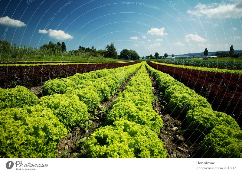 Salad coronation and that's it. Food Vegetable Nutrition Healthy Environment Nature Earth Beautiful weather Plant Foliage plant Garden Field Growth Fresh Small