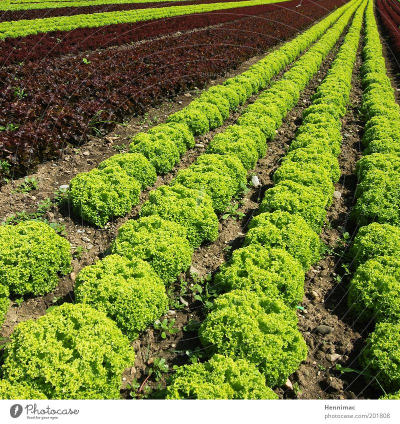 Nature Green Nutrition Garden Field Healthy Environment Fresh Perspective Arrangement Growth Clean Vegetable Delicious Appetite Row