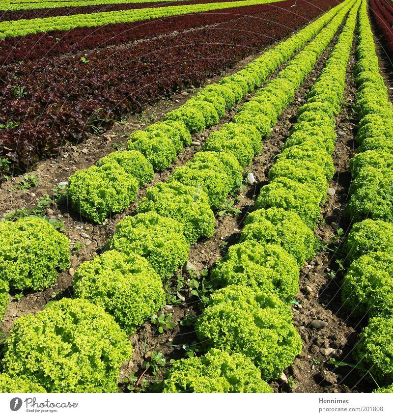 Saladfix and done. Perspective Vegetable Nutrition Garden Environment Nature Agricultural product Growth Arrangement Colour photo Multicoloured Exterior shot