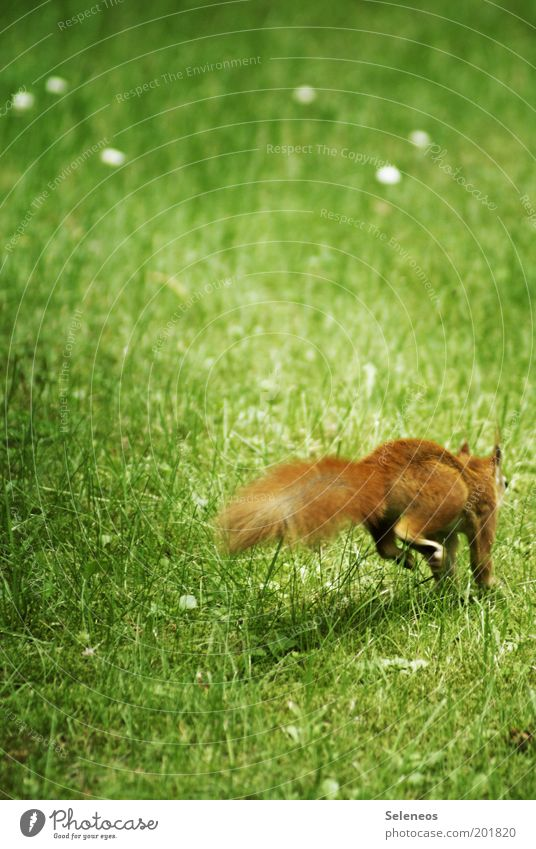 The classic among the croissants Freedom Summer Environment Nature Plant Animal Grass Park Meadow Wild animal Squirrel Running Movement Walking Jump Cuddly