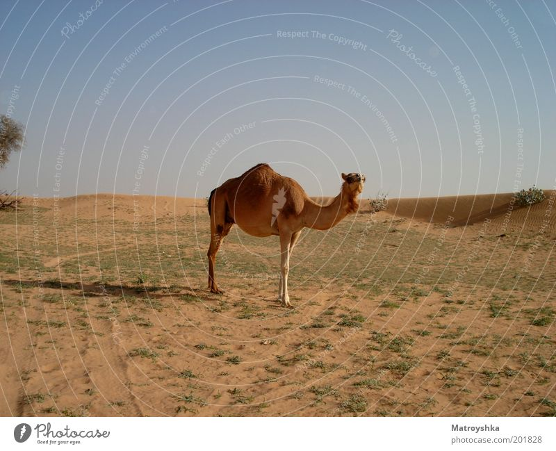 The sea without water Vacation & Travel Warmth Desert Arabia Farm animal Camel Dromedary Looking Stand Free Hot Dry Culture Curiosity Colour photo Exterior shot