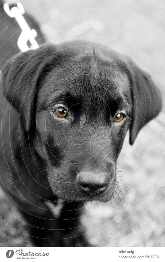 Look me in the eye. Animal Dog 1 Baby animal Loyal Sympathy Curiosity Discover Trust Labrador Puppy Brown eyes Colour photo Black & white photo Exterior shot