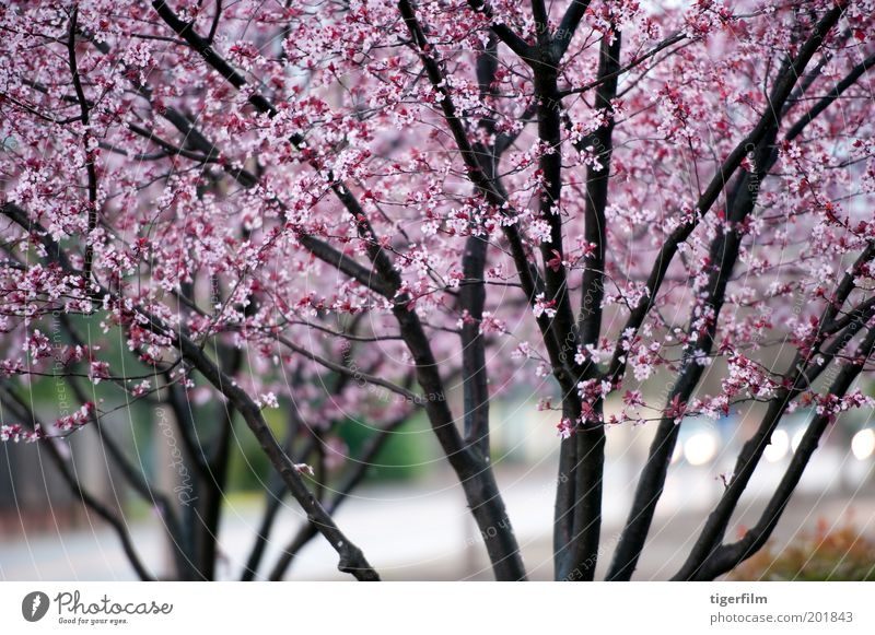 wet tree blossoms Nature Tree Flower Street Lamp Dark Blossom Spring Rain Pink Background picture Wet Branch Blossoming Seasons Lovely
