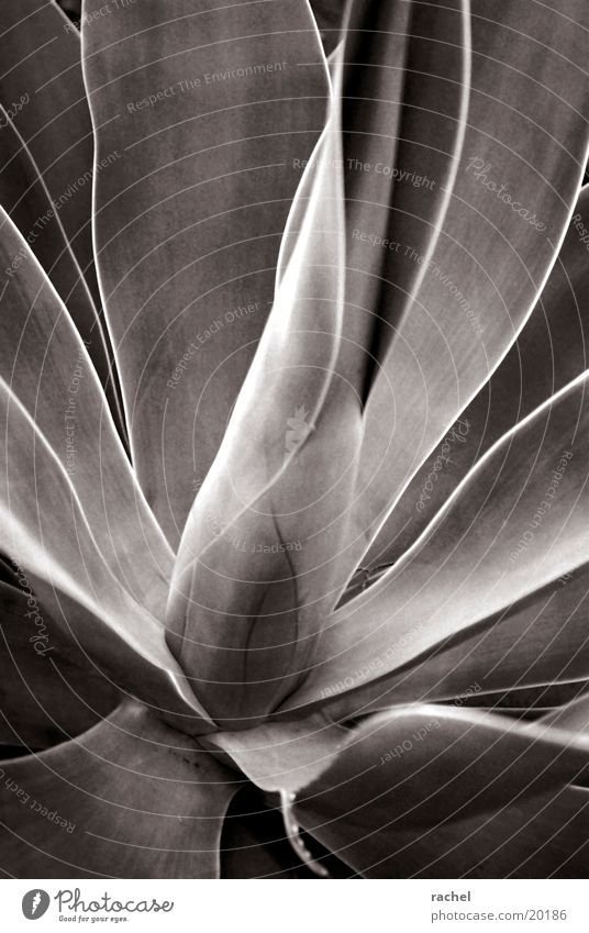agave Nature Plant Leaf Desert Dry Gray Agave Thorn Black & white photo Close-up Macro (Extreme close-up)