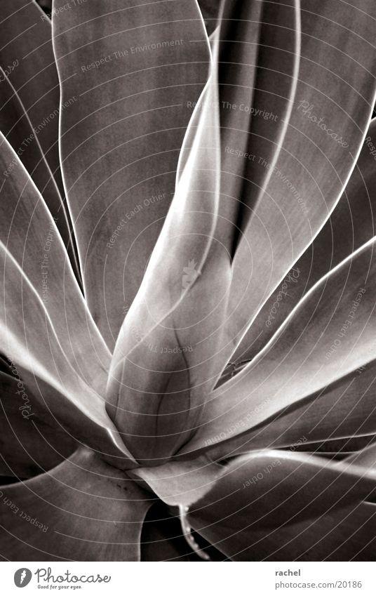 Nature Plant Leaf Gray Dry Desert Thorn Agave