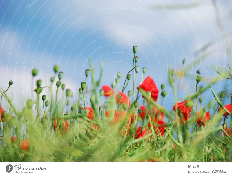 Nature Sky Flower Green Blue Plant Red Summer Meadow Blossom Grass Garden Field Fragrance Poppy Beautiful weather