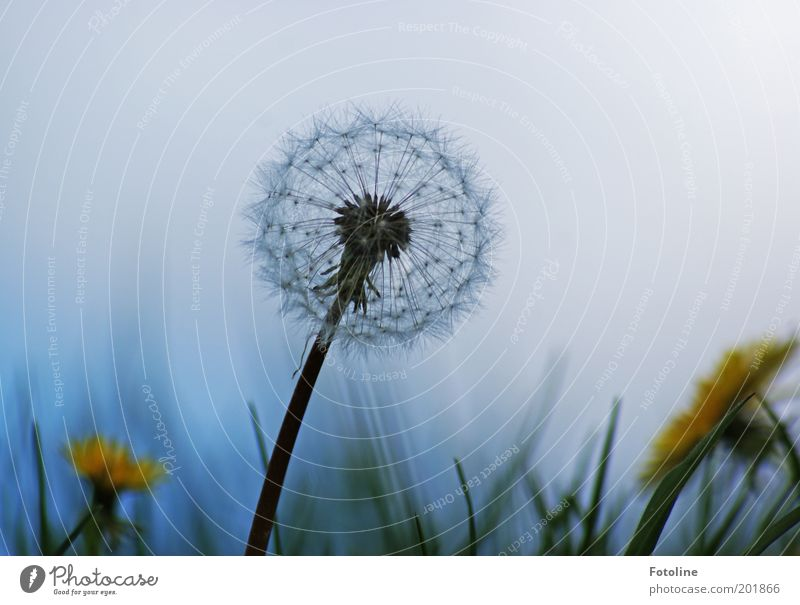 Dandelion meets dandelion Environment Nature Plant Flower Meadow Faded Blue Yellow Green White Dandelion field Colour photo Multicoloured Exterior shot