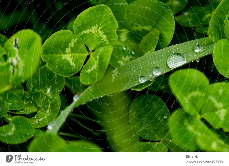 After the rain Nature Landscape Plant Spring Weather Bad weather Rain Grass Clover Cloverleaf Four-leafed clover Authentic Fresh Wet Positive Green Emotions