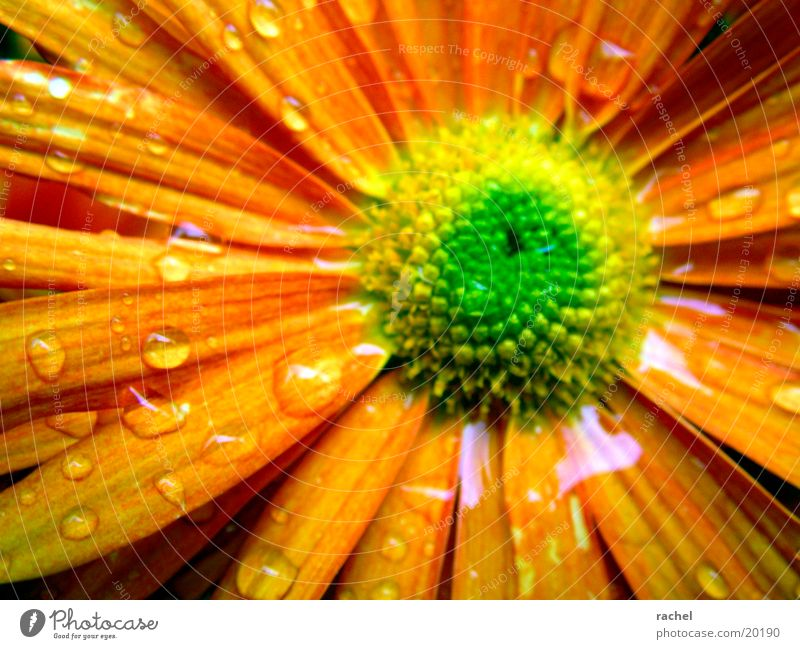 Water Flower Green Plant Yellow Autumn Blossom Rain Orange Drops of water
