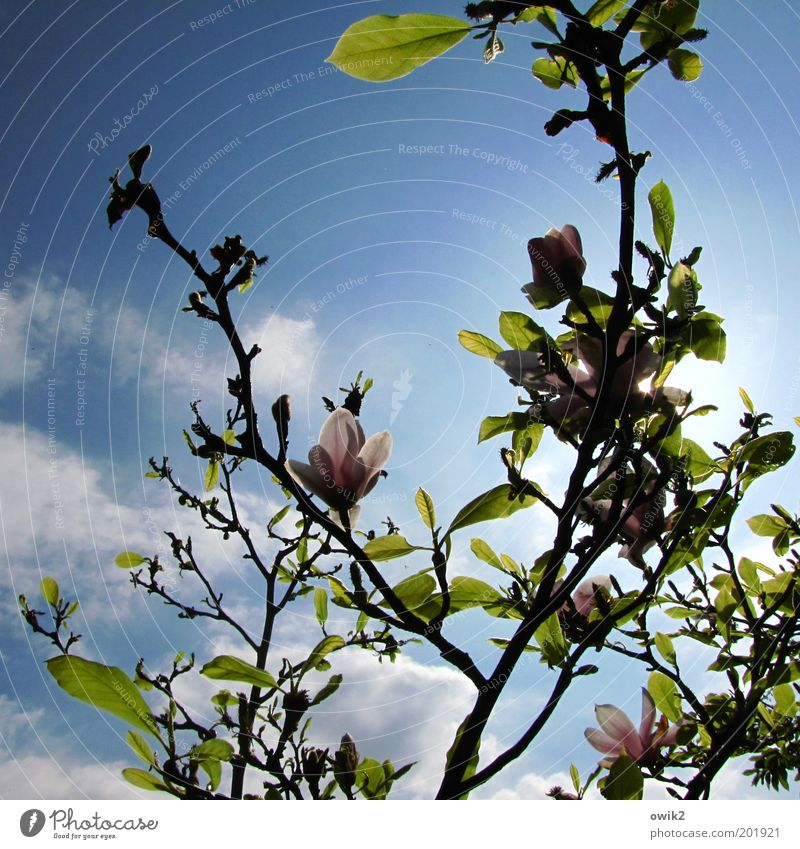 Spring in Fläming Environment Nature Plant Air Sky Clouds Sun Climate Beautiful weather Tree Leaf Blossom Foliage plant Wild plant Exotic Magnolia tree