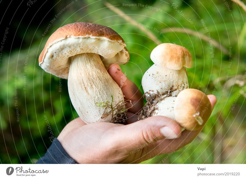 Edible fresh mushrooms boletus edulis in a hand Nature Plant Summer Colour Green White Hand Forest Eating Yellow Autumn Natural Food Brown Orange Fresh