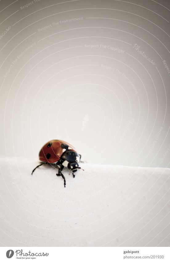 Marie N. Kaefer Animal Ladybird 1 Crawl Cute Cliche Red Black White Joy Happy Happiness Joie de vivre (Vitality) Optimism Sympathy Love of animals May Beetle