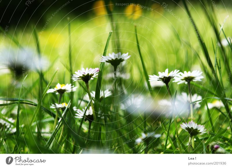 Nature Meadow Grass Spring Garden Natural Blade of grass Daisy Environment Flower