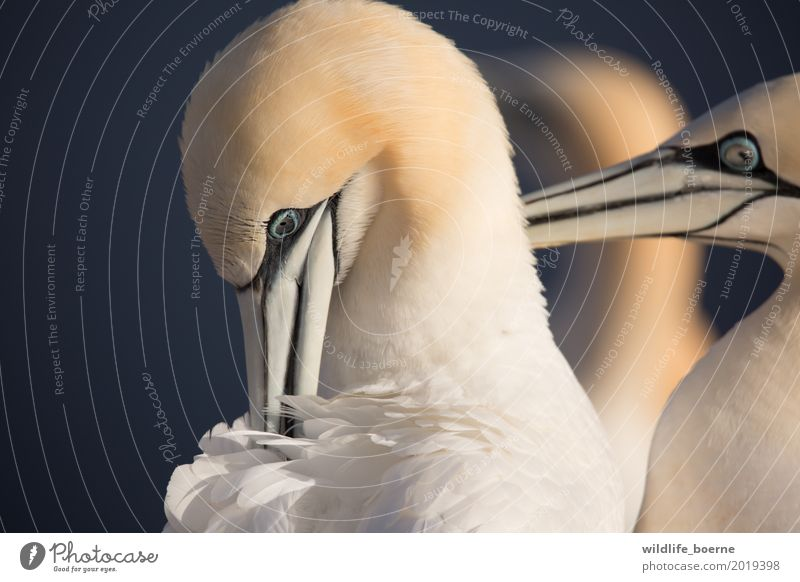 gannet couple Animal Wild animal Bird Northern gannet 2 3 Cleaning Esthetic Exceptional Elegant Beautiful Natural Blue Gold Black White Loyal Loyalty Conceited