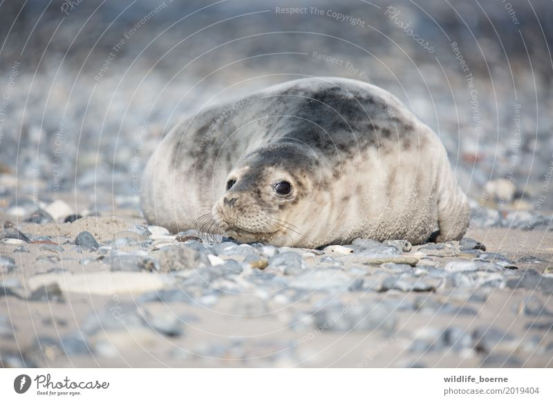 Grey seal Jungtier Animal Wild animal Gray seal 1 Baby animal Stone Sand Looking Dream Beautiful Cuddly Small Maritime Natural Cute Safety (feeling of)