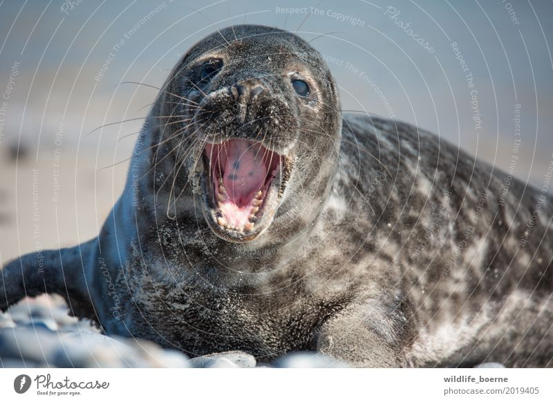Grey seal Jungtier Animal Wild animal Animal face Pelt Gray seal 1 Baby animal Stone Sand Water Beautiful Small Maritime Natural Curiosity Cute White Fatigue