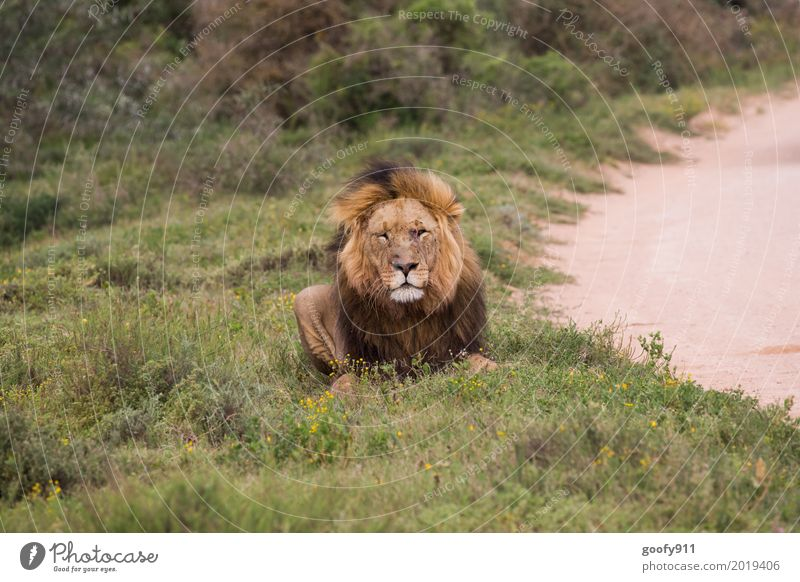 Total Relaxed II Environment Nature Landscape Summer Warmth Drought Grass Bushes Desert Savannah South Africa Deserted Animal Wild animal Cat Animal face Pelt