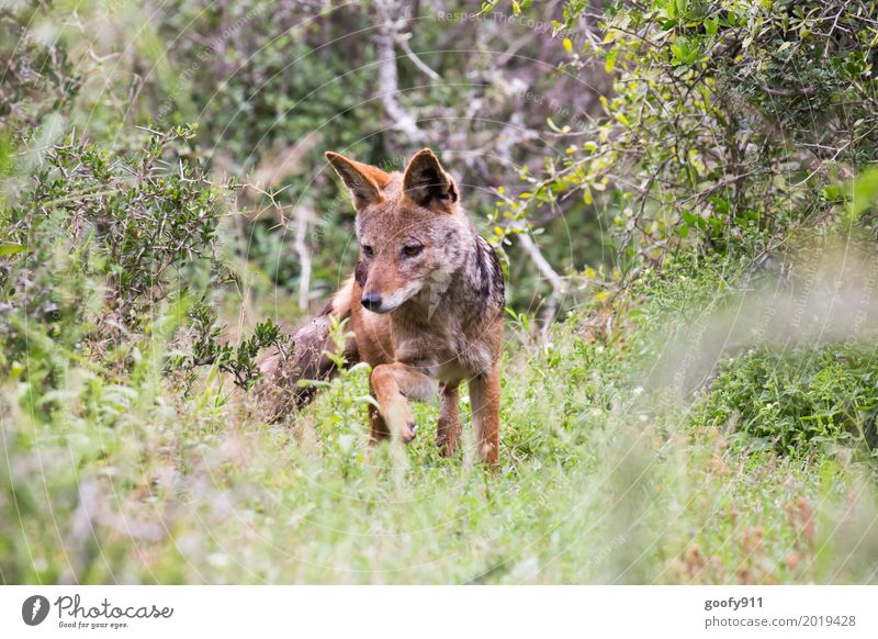 The Jackal Environment Nature Landscape Spring Summer Warmth Drought Plant Grass Bushes Foliage plant Savannah South Africa Deserted Animal Wild animal Dog