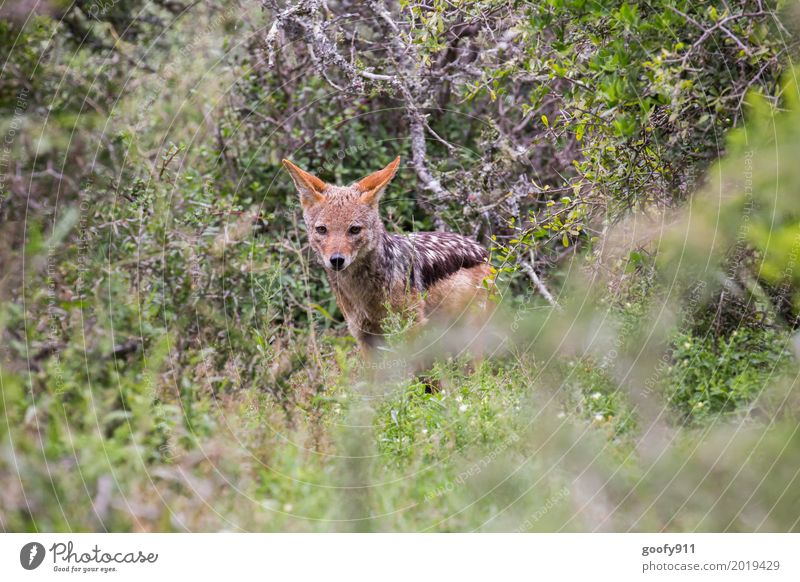 The Jackal II Environment Nature Spring Summer Warmth Drought Plant Tree Grass Bushes Foliage plant Savannah South Africa Deserted Animal Wild animal Dog