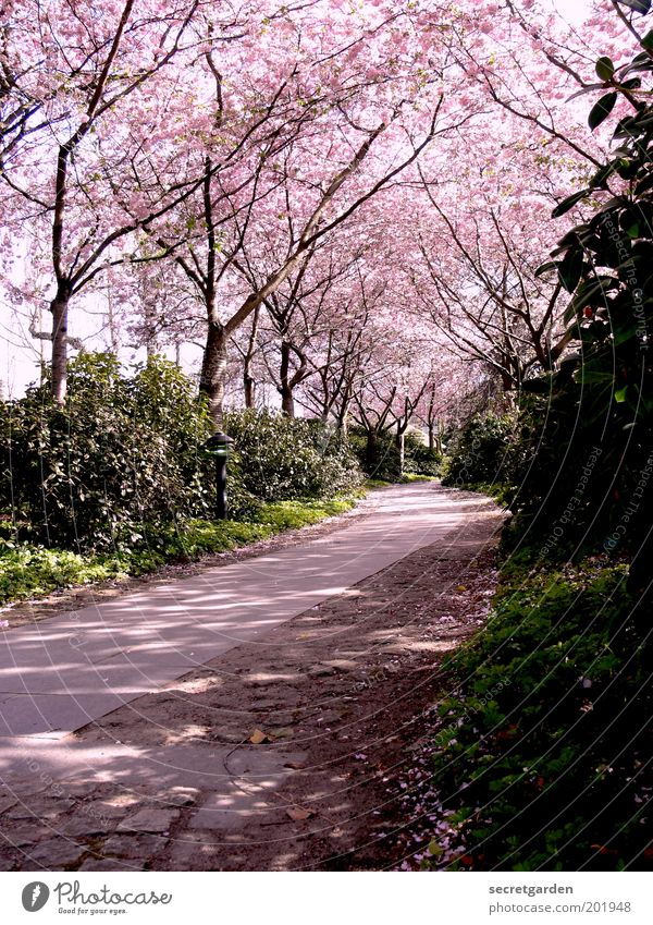the way is the goal. Environment Nature Plant Spring Tree Bushes Blossom Park Lanes & trails Blossoming Relaxation Beautiful Pink Protection Romance Idyll Calm