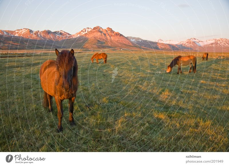 Green Animal Meadow Grass Mountain Landscape Brown Field Horse Group of animals Pelt Hill Pasture Iceland To feed
