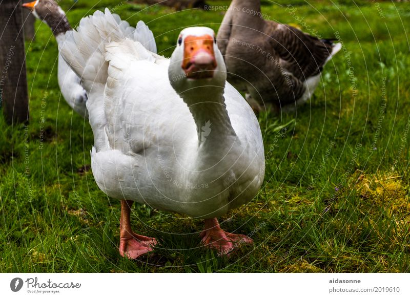 goose Animal Bird 1 Looking Goose White Farm Colour photo Exterior shot Deserted Day Profile Looking into the camera