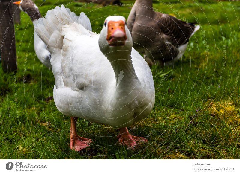 White Animal Bird Farm Goose