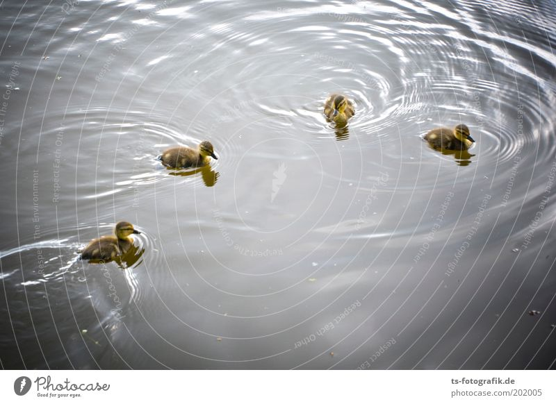 The Gang of Four Environment Nature Elements Water Spring Park Lake River Animal Wild animal Duck Mallard Chick Duckling 4 Group of animals Baby animal