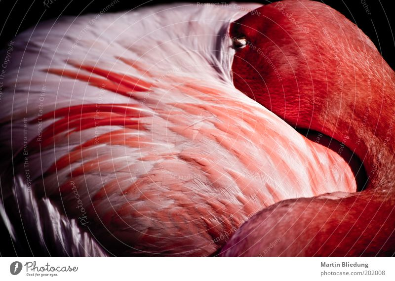sleepmode Animal Wild animal Flamingo Wing 1 Relaxation To enjoy Lie Sleep Dream Glittering Cuddly Natural Soft Pink Red White Emotions Contentment