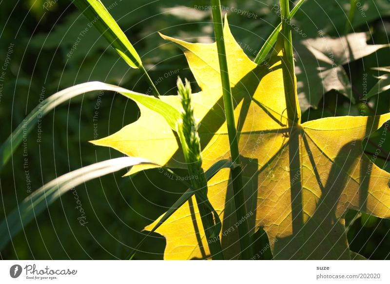 Nature Green Plant Leaf Yellow Emotions Landscape Environment Grass Gold Esthetic Illuminate Seasons Blade of grass Autumn leaves Autumnal
