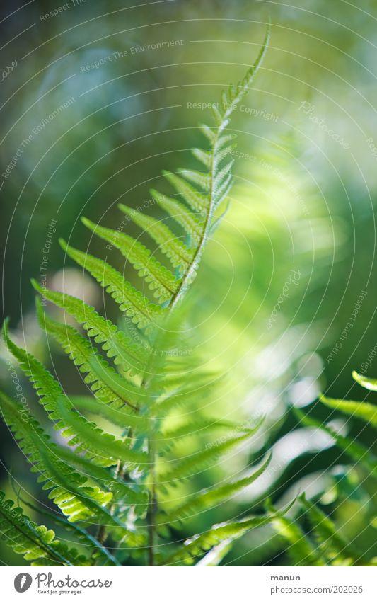 fern frond Calm Nature Plant Sunlight Spring Summer Bushes Fern Foliage plant Garden Park Illuminate Esthetic Exotic Fantastic Fresh Bright Green Romance