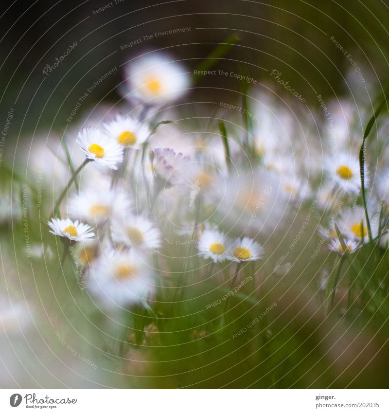 Nature White Plant Flower Meadow Environment Blossom Grass Small Growth Blossoming Daisy Depth of field Many Diffuse Daisy Family