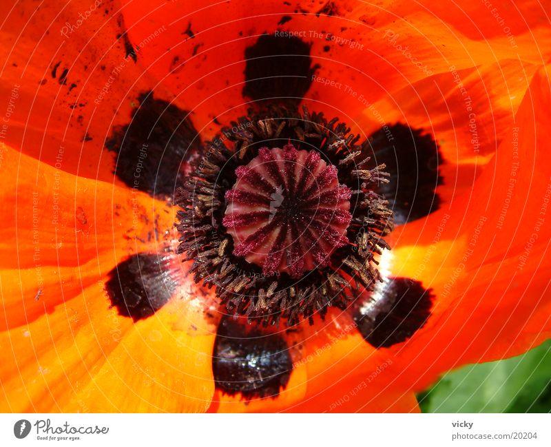 Flower Poppy Corn poppy