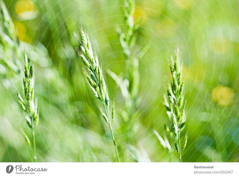 Nature Green Plant Summer Meadow Grass Spring Field Environment Stalk Beautiful weather Ear of corn Point of light Grain Grass green Grass meadow