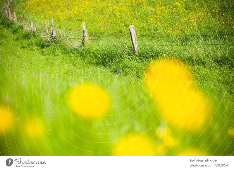 Beautiful Flower Green Plant Summer Yellow Meadow Grass Spring Esthetic Joie de vivre (Vitality) Dandelion Border Fragrance Pasture Fence
