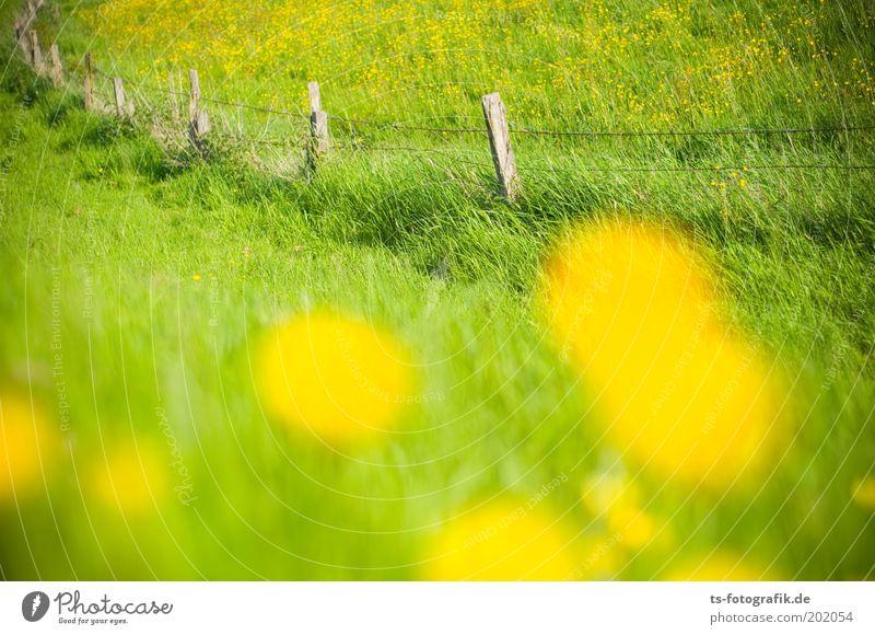 Beautiful Flower Green Plant Summer Yellow Meadow Grass Spring Esthetic Joie de vivre (Vitality) Dandelion Border Fragrance Pasture Fence