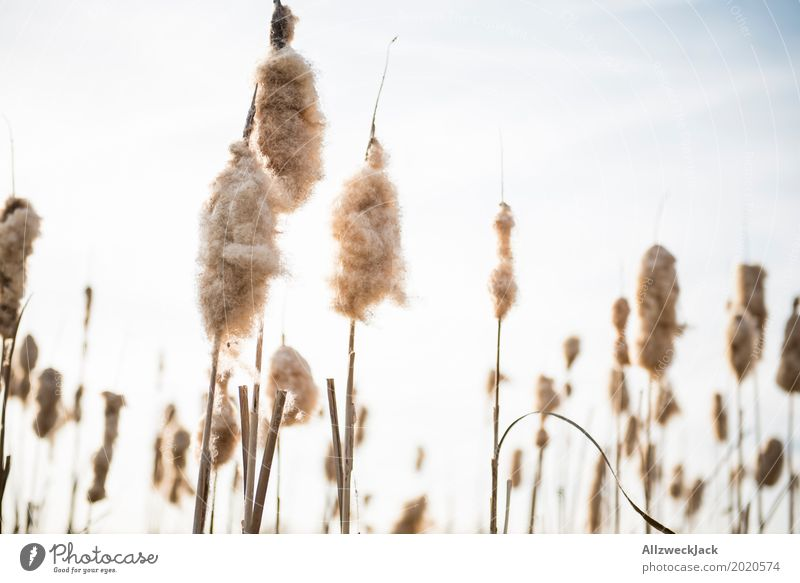 Nature Plant Spring Grass Blossoming Lakeside Seed Common Reed Fluff Cotton candy