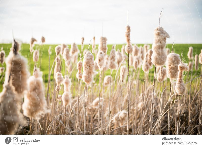 Reed 2 Common Reed Lakeside Nature Grass Field Blossoming Seed Fluff Deserted Cotton candy Absorbent cotton