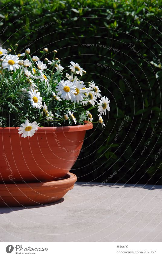 bucket Garden Decoration Environment Spring Summer Beautiful weather Plant Flower Blossom Pot plant Blossoming Growth Marguerite Colour photo Exterior shot