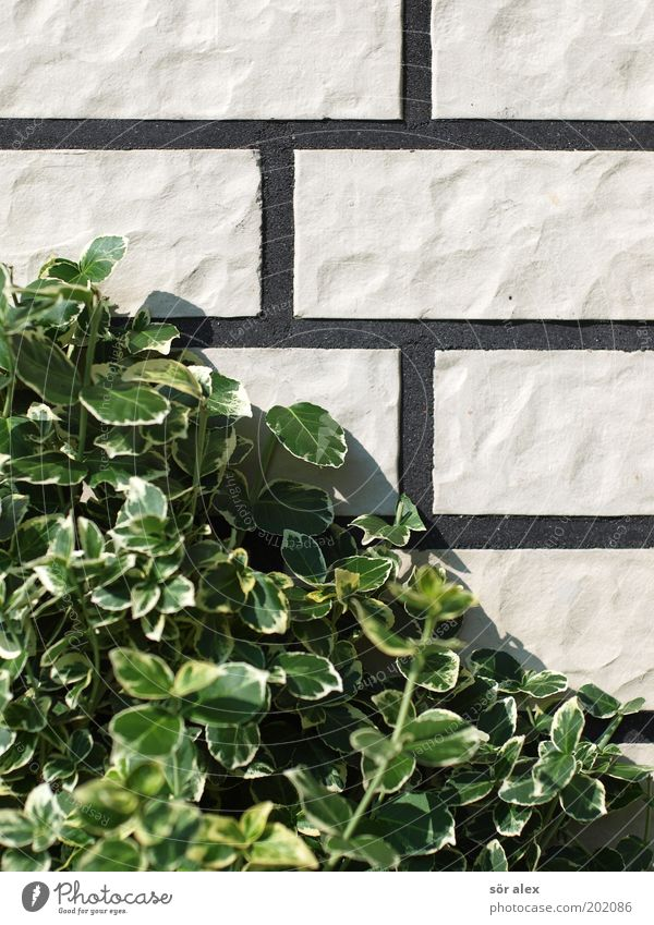 White Green Plant Leaf Black Wall (building) Stone Wall (barrier) Facade Growth Gloomy Bushes Clean Tile Brick Seam