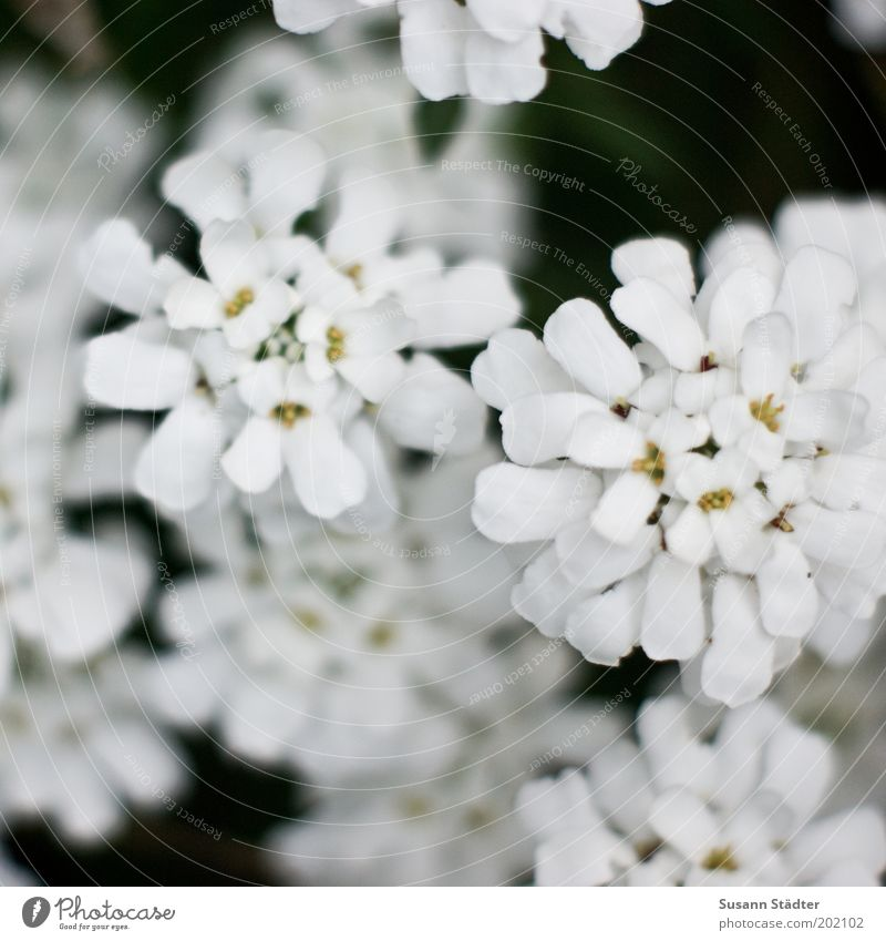 Flowers from the garden Nature Plant Summer Bushes Garden Blossoming Round White Beautiful weather Growth Illuminate Small Iberis Subdued colour Exterior shot