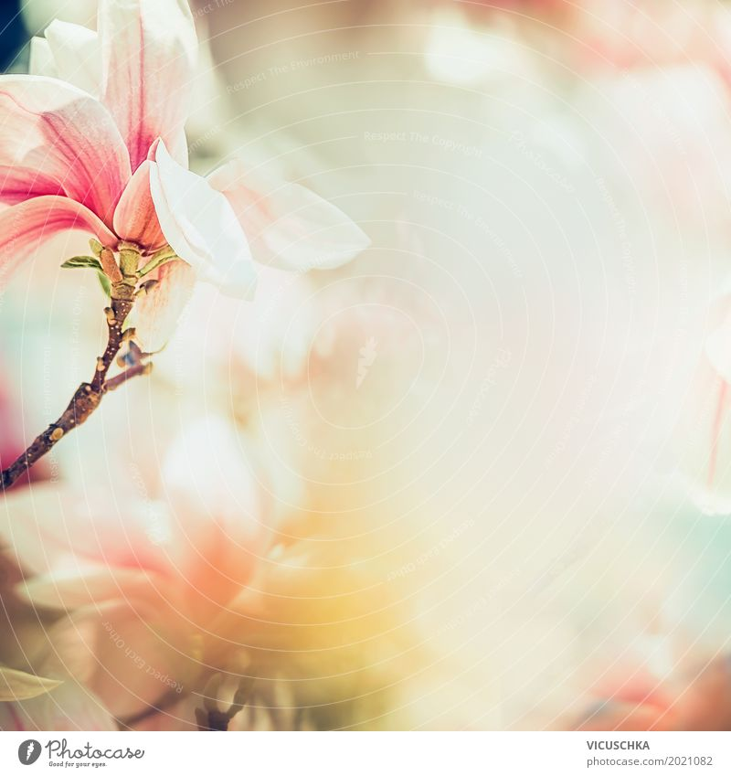 Beautiful magnolia blossom in sunlight Design Life Summer Garden Nature Plant Spring Beautiful weather Flower Leaf Blossom Park Blossoming Soft Pink