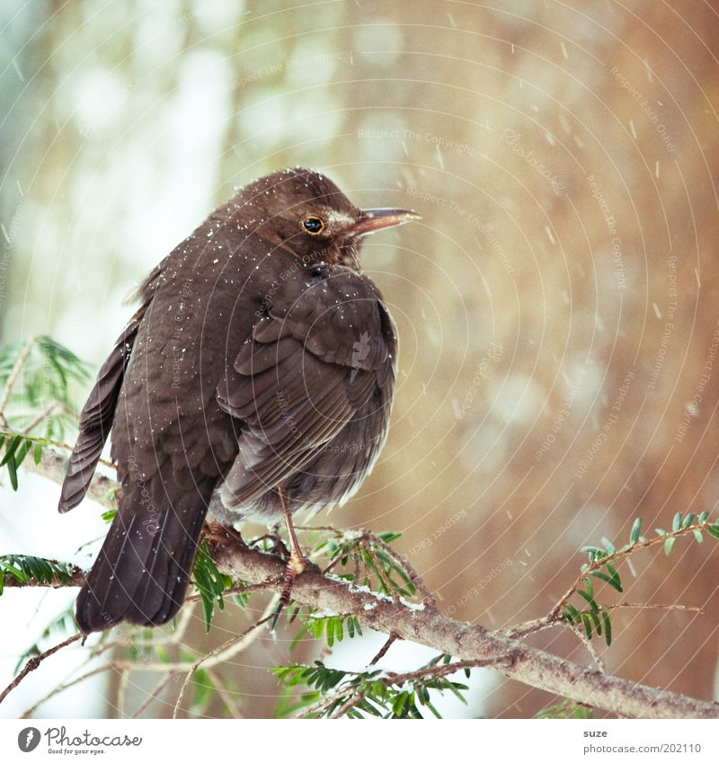 blackbird Environment Nature Plant Animal Winter Bushes Wild animal Bird 1 Sit Wait Authentic Cold Small Natural Cute Brown Blackbird Feather Songbirds Twig