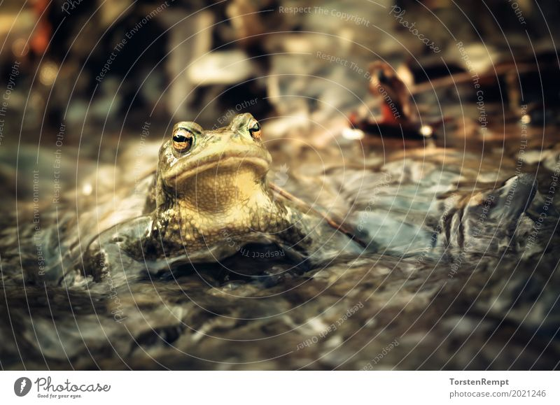 Nature Water Animal Environment Yellow Natural Brown Wild Gold Wild animal Brook Frog Flow Disgust Amphibian Frogs